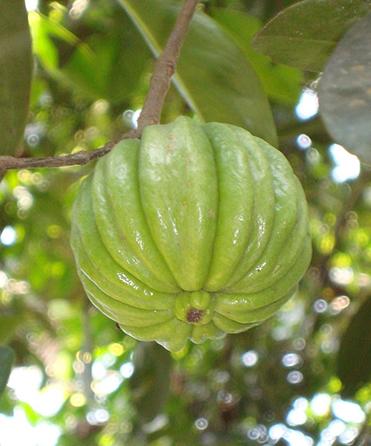 Frutas de Garcinia Cambogia